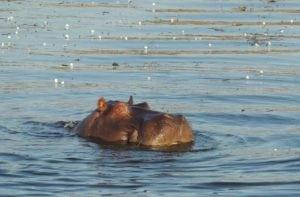 0352 hippo sm
