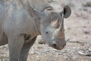 C&BT DSC_4036 sm rhino